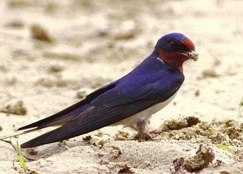 swallow5ツバメ