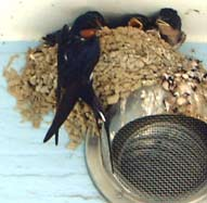 minatubame11燕の巣