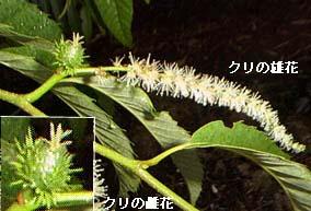 kuli2栗の花