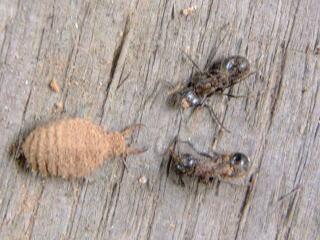 arinotiwosutta2蟻地獄幼虫