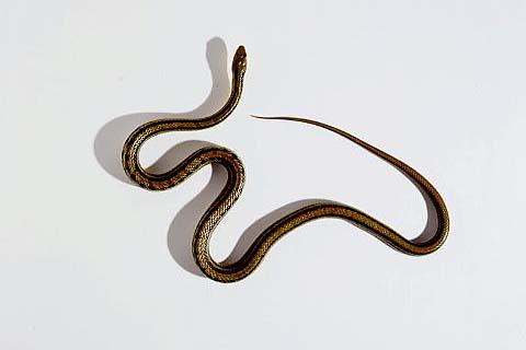sw-1upシマヘビ