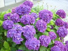 ajisai7紫陽花③