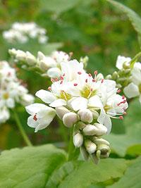 buckwheat-7ソバの花