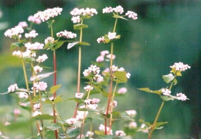 sobaソバの花