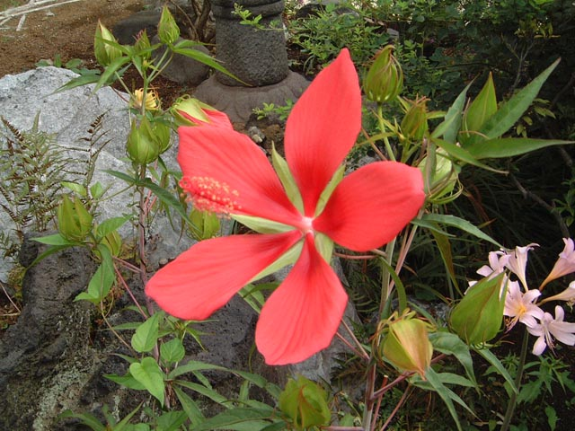 011紅蜀葵
