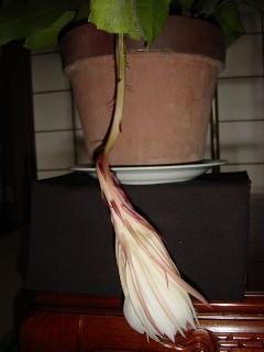 bijin-11萎んだ花