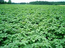 imo4.7.16馬鈴薯畑
