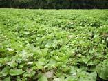 satsuma-1サツマイモ畑