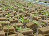 photo-02トマトの種床