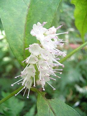 simoba1植物シモバシラ