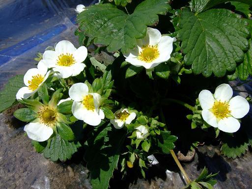 e88bbae381aee88ab111苺の花