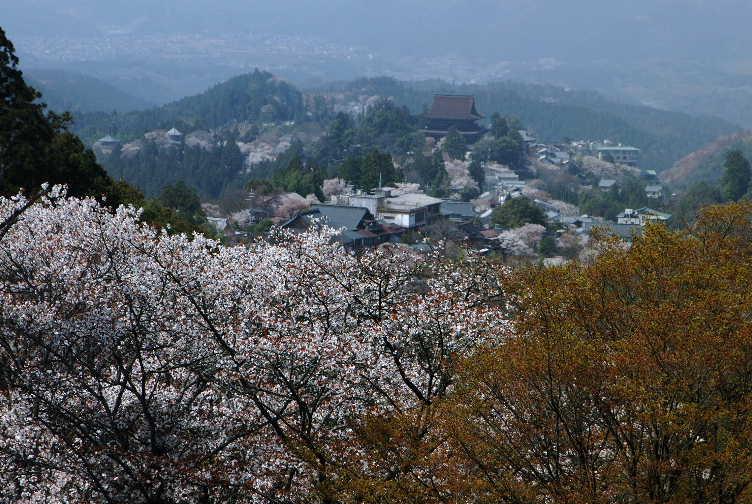 0204170吉野桜