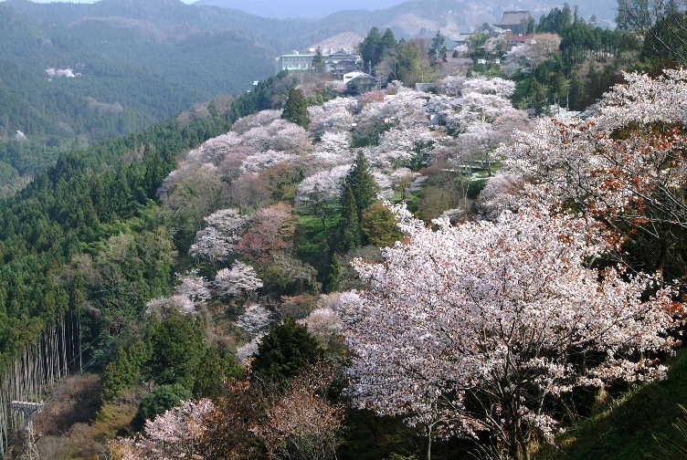 0204189吉野桜