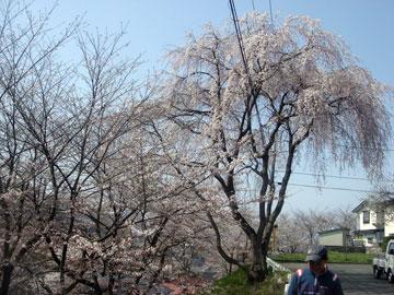 2009桜-001