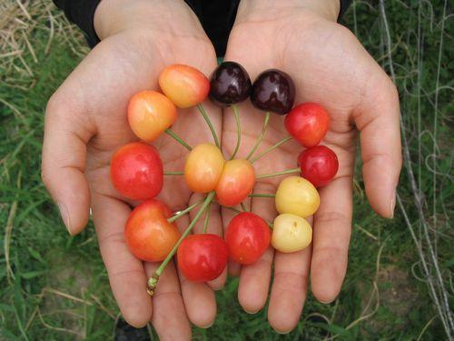 73-cherry.jpg