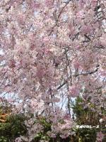 P1140570嵐山の桜