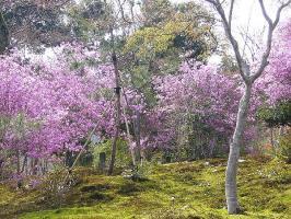 P1140581天龍寺の桜