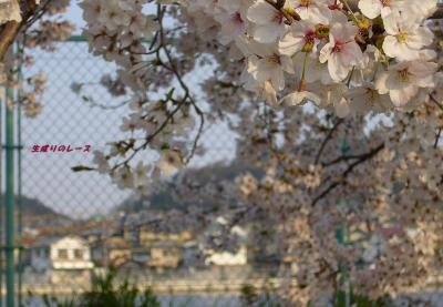 P1140668住宅地の桜