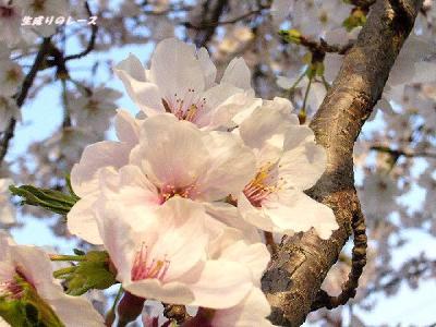 P1140669住宅地の桜