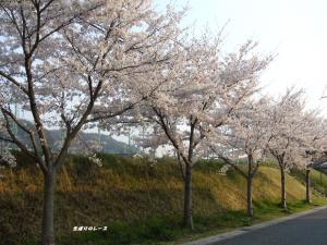 P1140671住宅地の桜