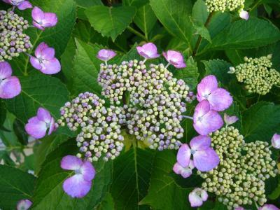P1150205紫陽花