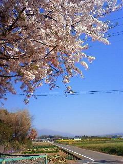 4.11sakura散歩