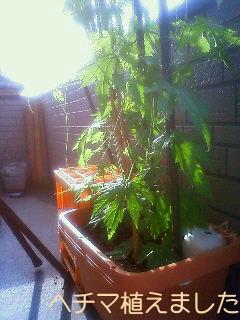 ヘチマ植えました