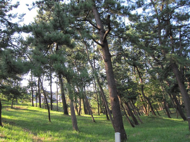 斜め松の木