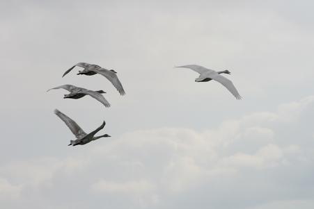 伊豆沼の白鳥