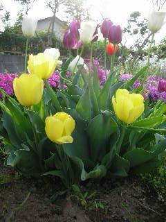 tulipチューリップ