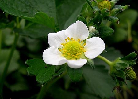 flower_ichigo.jpg