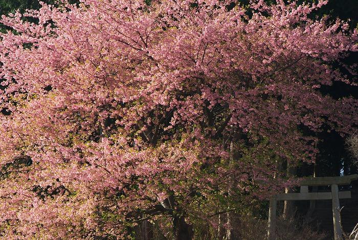 河津桜の咲く風景