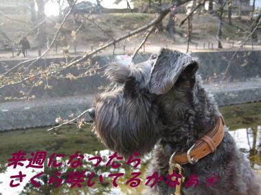 SAKURA__20090321181404.jpg
