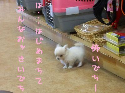 11.10チワワちゃん
