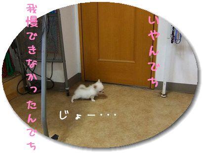 11.11チワワちゃん