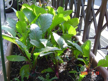 日野菜06-8