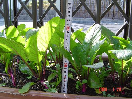 日野菜06-9