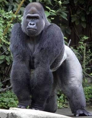 Gorilla_vmed.jpg
