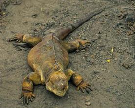 darwin_land_iguana_09.jpg