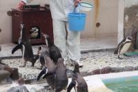 フンボルトペンギンの給餌