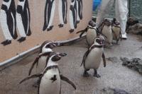 フンボルトペンギンの散歩