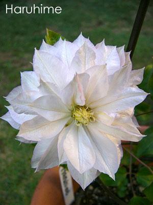 2004年の春姫