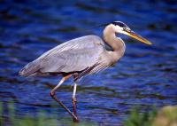 great_blue_heron22.jpg