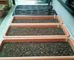 9/21玉葱、春菊、小かぶ、ガーデンレタスの種まき後