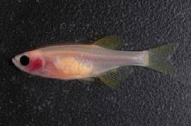 透明魚080211
