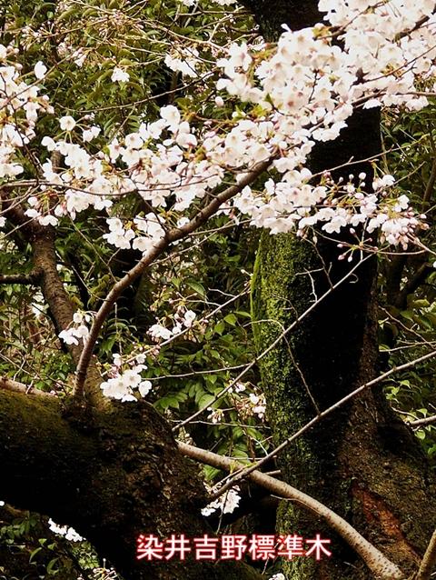 桜標準木480
