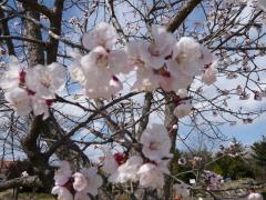 わんぱく公園の桜