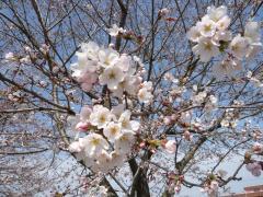 永野川公園の桜
