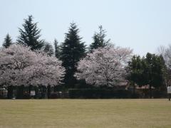 わんぱく公園の桜 満開