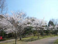 長岡公園の桜